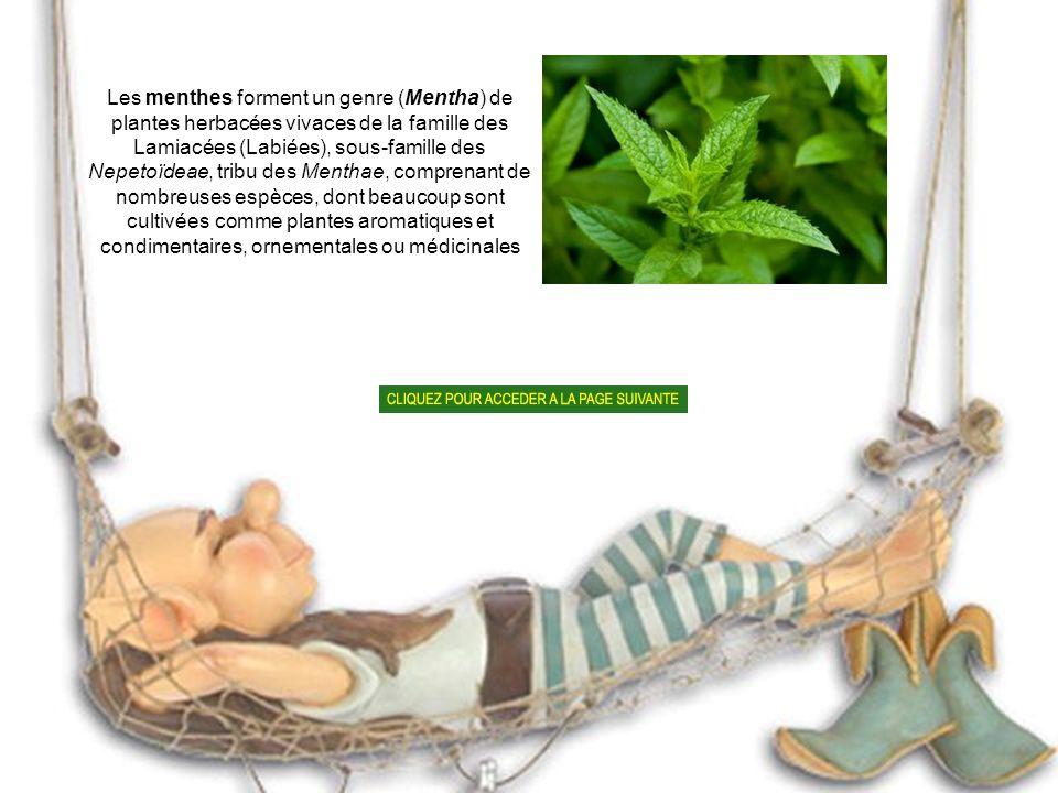 Les menthes forment un genre (Mentha) de plantes herbacées vivaces de la famille des Lamiacées (Labiées), sous-famille des Nepetoïdeae, tribu des Menthae, comprenant de nombreuses espèces, dont beaucoup sont cultivées comme plantes aromatiques et condimentaires, ornementales ou médicinales