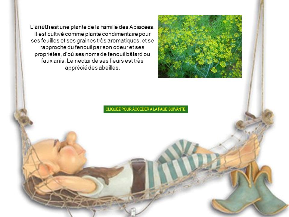 L aneth est une plante de la famille des Apiacées