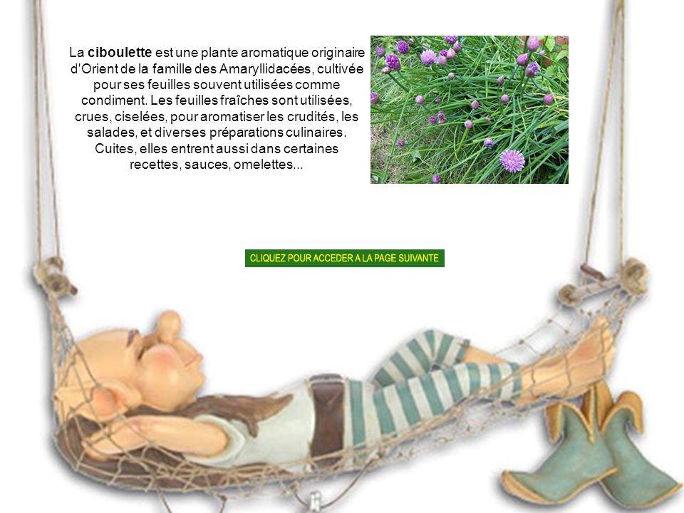 La ciboulette est une plante aromatique originaire d Orient de la famille des Amaryllidacées, cultivée pour ses feuilles souvent utilisées comme condiment.
