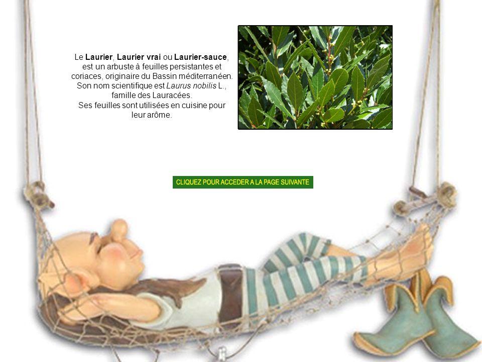 Son nom scientifique est Laurus nobilis L., famille des Lauracées.