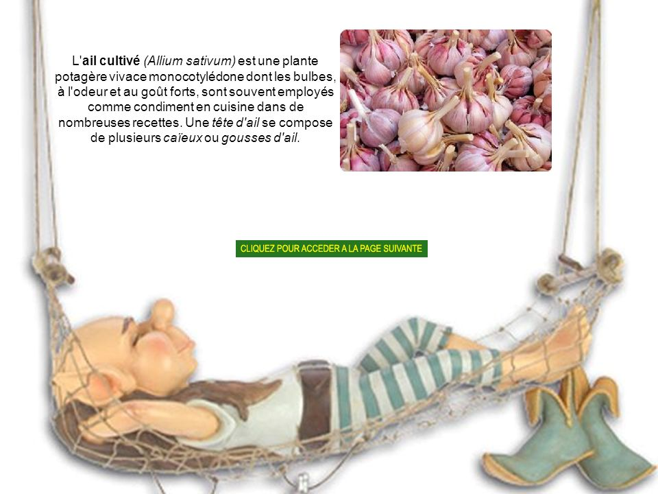 L ail cultivé (Allium sativum) est une plante potagère vivace monocotylédone dont les bulbes, à l odeur et au goût forts, sont souvent employés comme condiment en cuisine dans de nombreuses recettes.