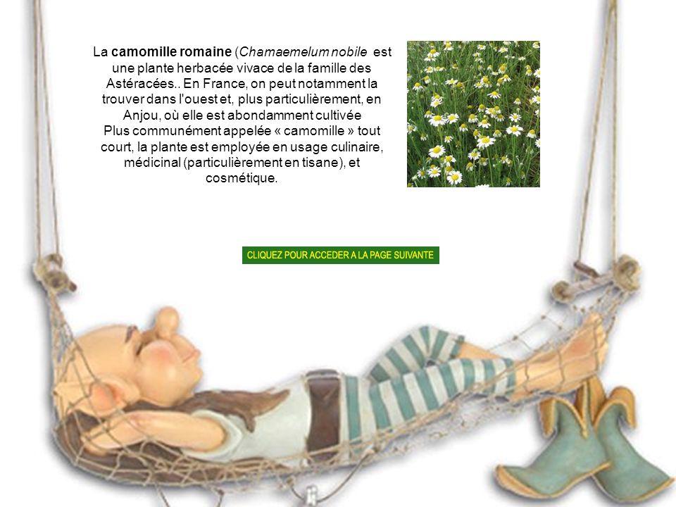La camomille romaine (Chamaemelum nobile est une plante herbacée vivace de la famille des Astéracées.. En France, on peut notamment la trouver dans l ouest et, plus particulièrement, en Anjou, où elle est abondamment cultivée