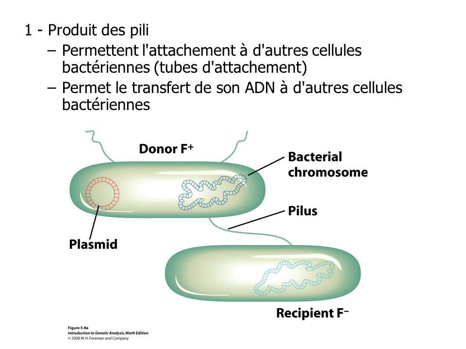 1 - Produit des pili Permettent l attachement à d autres cellules bactériennes (tubes d attachement)