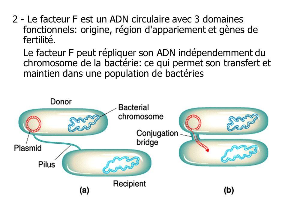 2 - Le facteur F est un ADN circulaire avec 3 domaines fonctionnels: origine, région d appariement et gènes de fertilité.