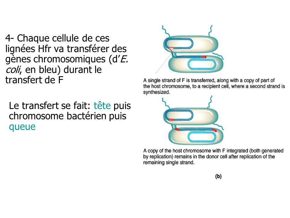 4- Chaque cellule de ces lignées Hfr va transférer des gènes chromosomiques (d'E. coli, en bleu) durant le transfert de F