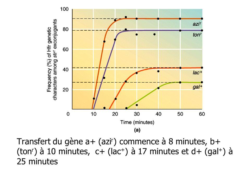 Transfert du gène a+ (azir) commence à 8 minutes, b+ (tonr) à 10 minutes, c+ (lac+) à 17 minutes et d+ (gal+) à 25 minutes