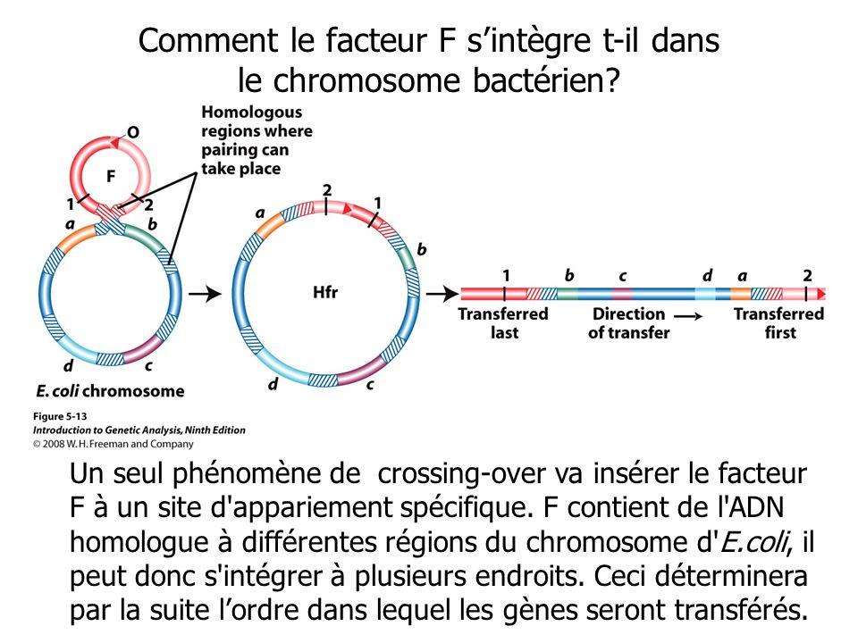 Comment le facteur F s'intègre t-il dans le chromosome bactérien