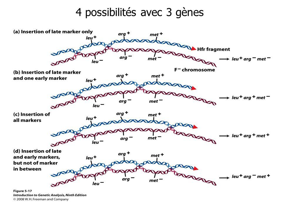 4 possibilités avec 3 gènes