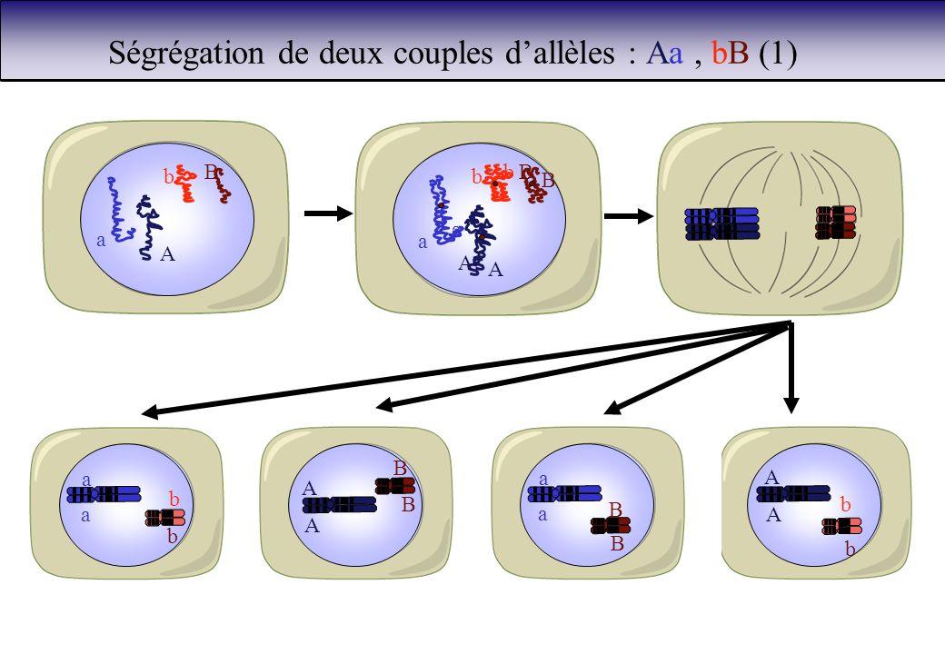 Ségrégation de deux couples d'allèles : Aa , bB (1)