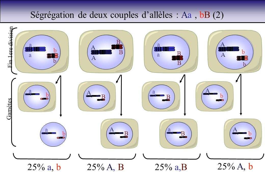 Ségrégation de deux couples d'allèles : Aa , bB (2)