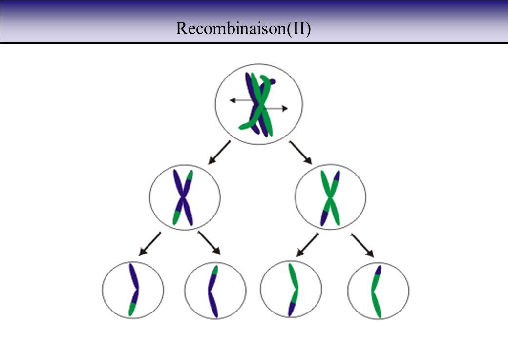 Recombinaison(II)