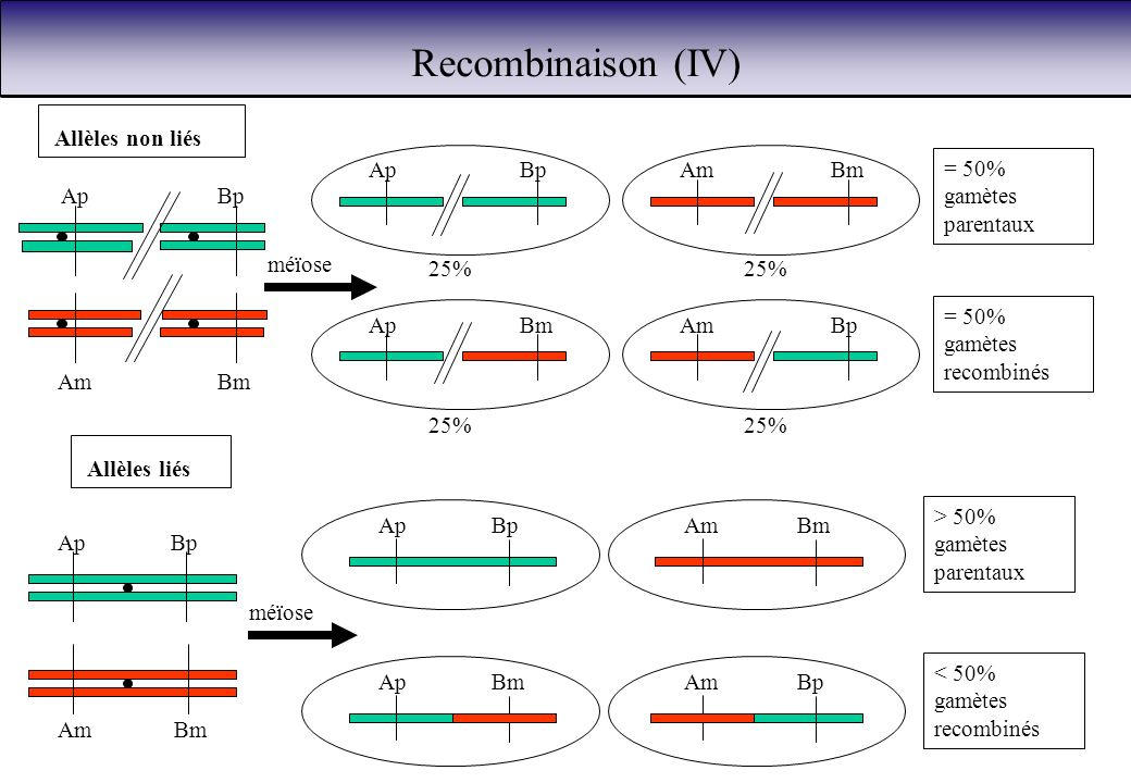 Recombinaison (IV) Ap Bm Am Bp 25% = 50% gamètes parentaux