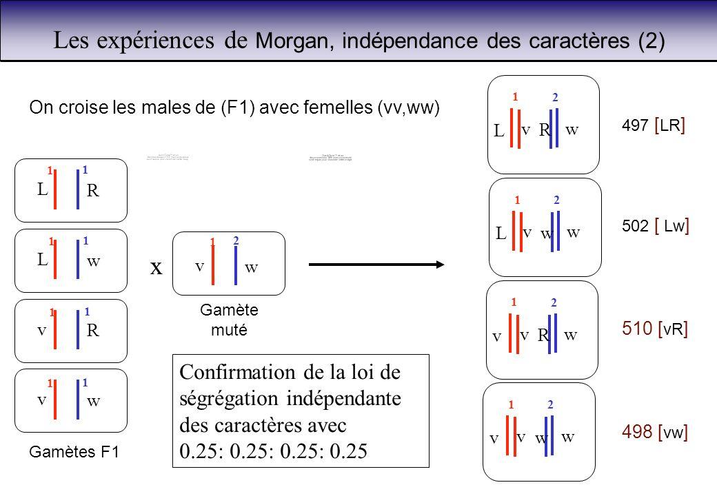 Les expériences de Morgan, indépendance des caractères (2)