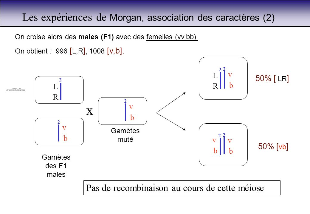 Les expériences de Morgan, association des caractères (2)