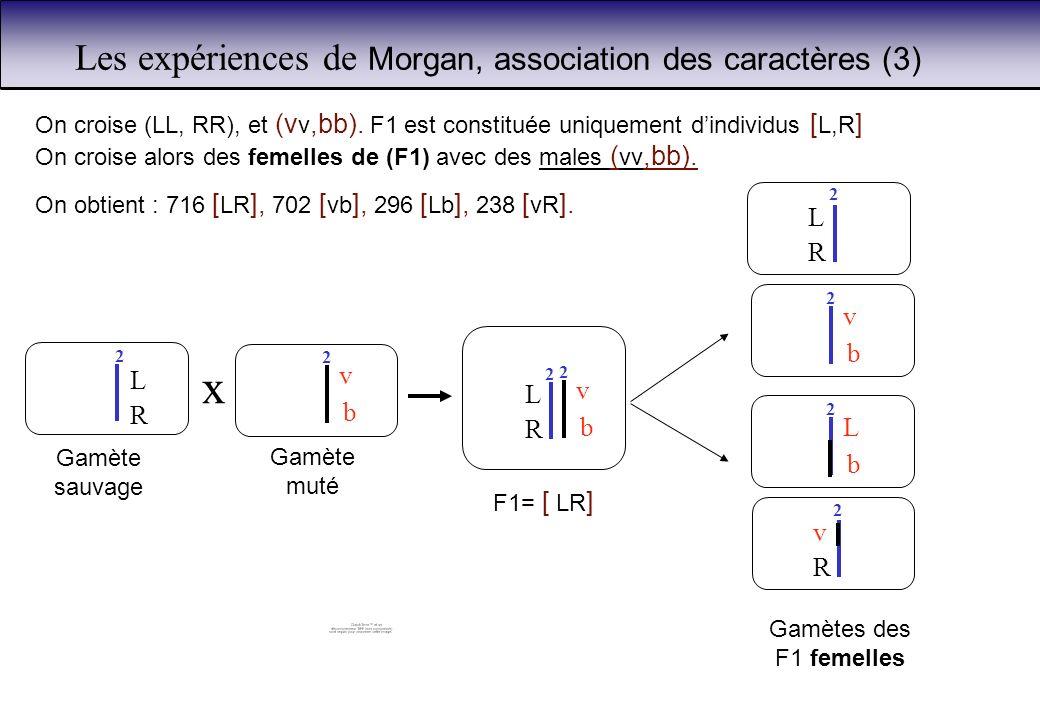 Les expériences de Morgan, association des caractères (3)