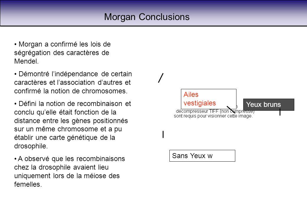 Morgan Conclusions Morgan a confirmé les lois de ségrégation des caractères de Mendel.