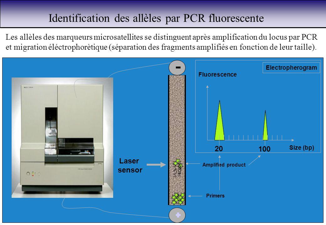 Identification des allèles par PCR fluorescente