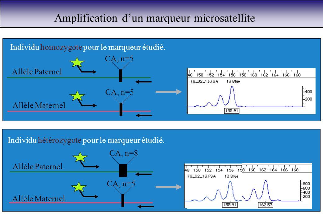 Amplification d'un marqueur microsatellite