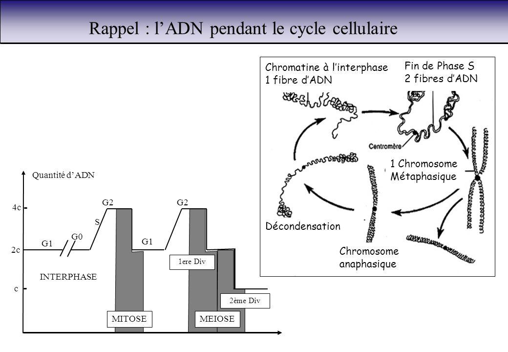 Rappel : l'ADN pendant le cycle cellulaire