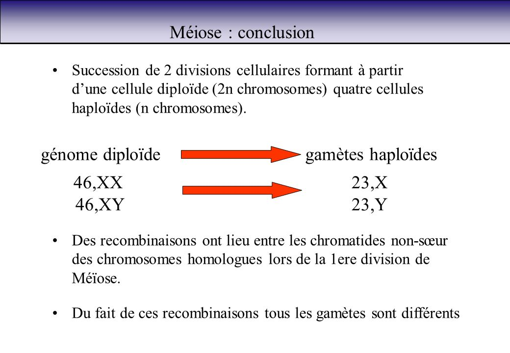 Méiose : conclusion génome diploïde gamètes haploïdes 46,XX 46,XY 23,X