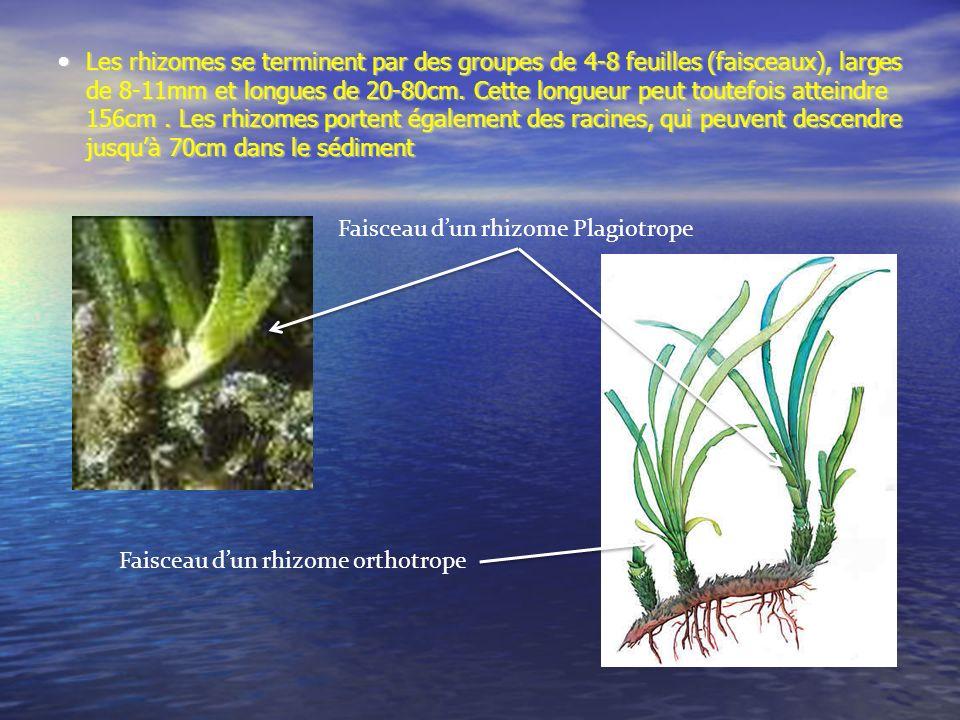 Les rhizomes se terminent par des groupes de 4-8 feuilles (faisceaux), larges de 8-11mm et longues de 20-80cm. Cette longueur peut toutefois atteindre 156cm . Les rhizomes portent également des racines, qui peuvent descendre jusqu'à 70cm dans le sédiment