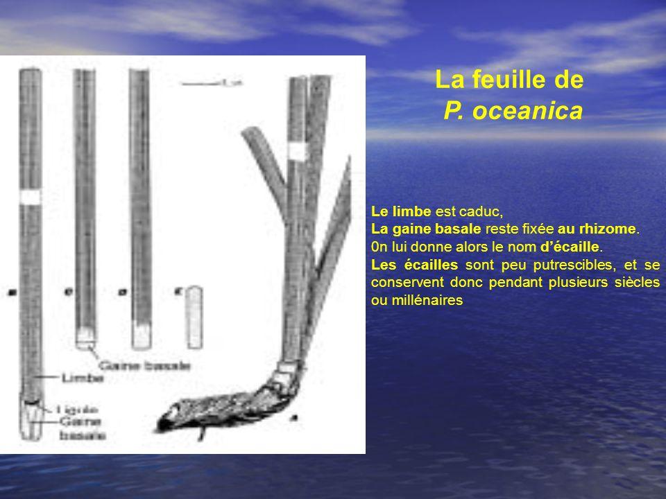 La feuille de P. oceanica