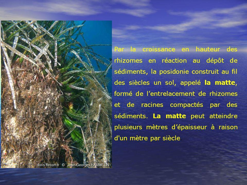 Par la croissance en hauteur des rhizomes en réaction au dépôt de sédiments, la posidonie construit au fil des siècles un sol, appelé la matte, formé de l'entrelacement de rhizomes et de racines compactés par des sédiments.