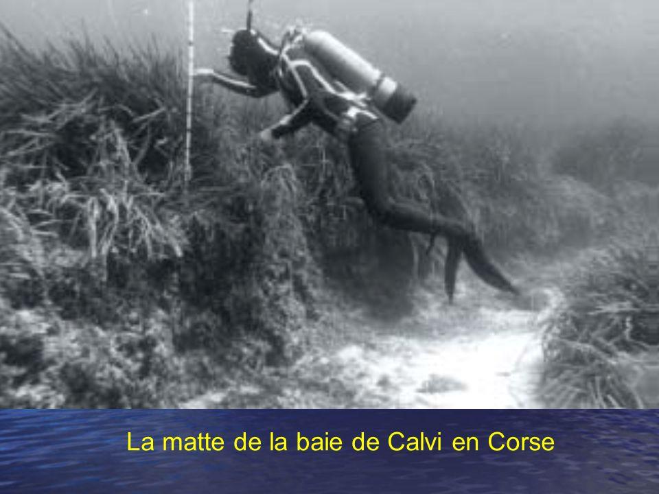 La matte de la baie de Calvi en Corse