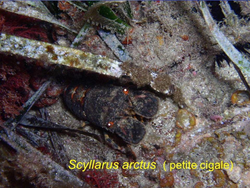 Scyllarus arctus ( petite cigale)
