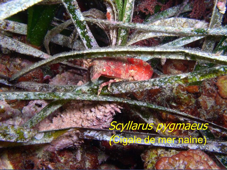 Scyllarus pygmaeus (Cigale de mer naine)