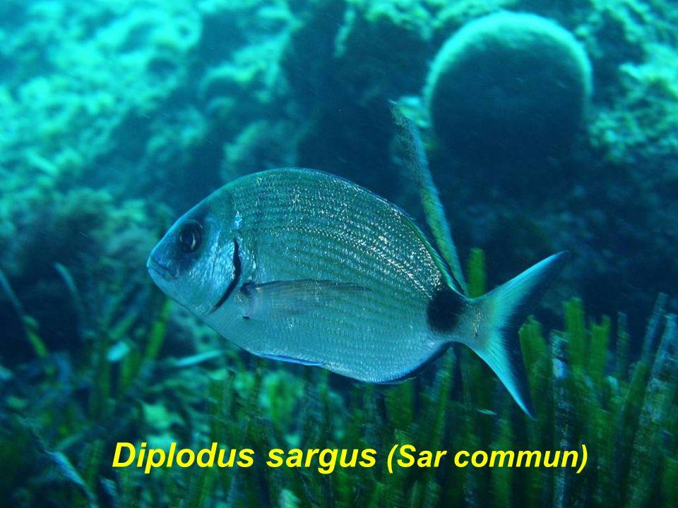 Diplodus sargus (Sar commun)