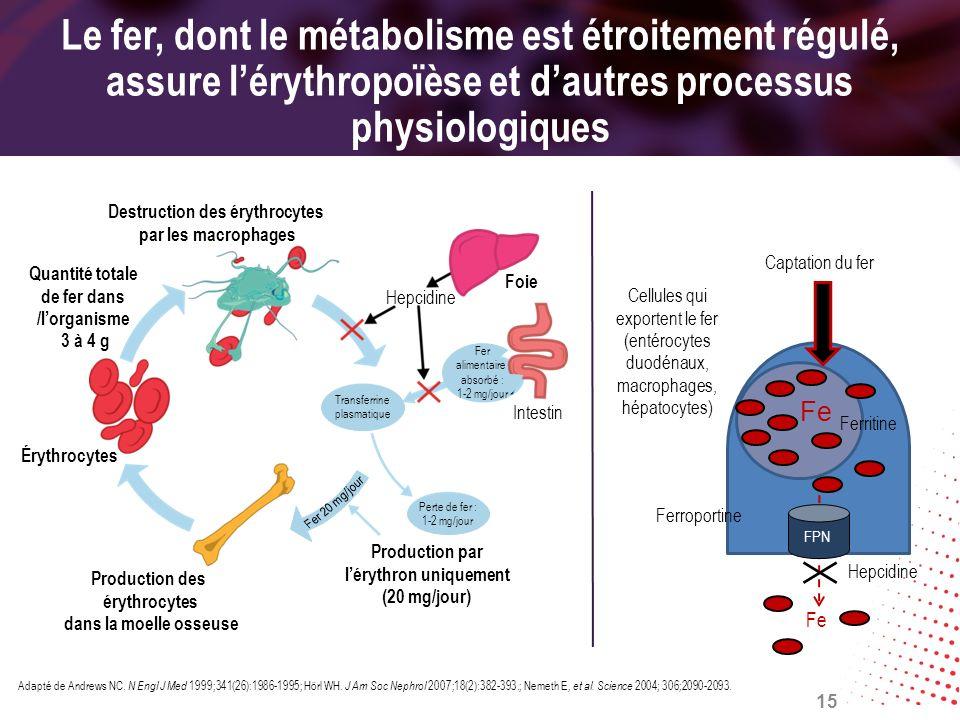 Le fer, dont le métabolisme est étroitement régulé, assure l'érythropoïèse et d'autres processus physiologiques