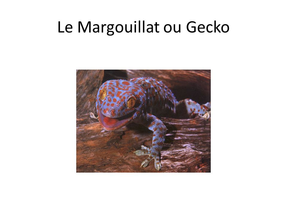 Le Margouillat ou Gecko