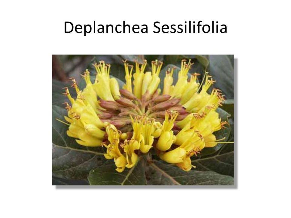 Deplanchea Sessilifolia