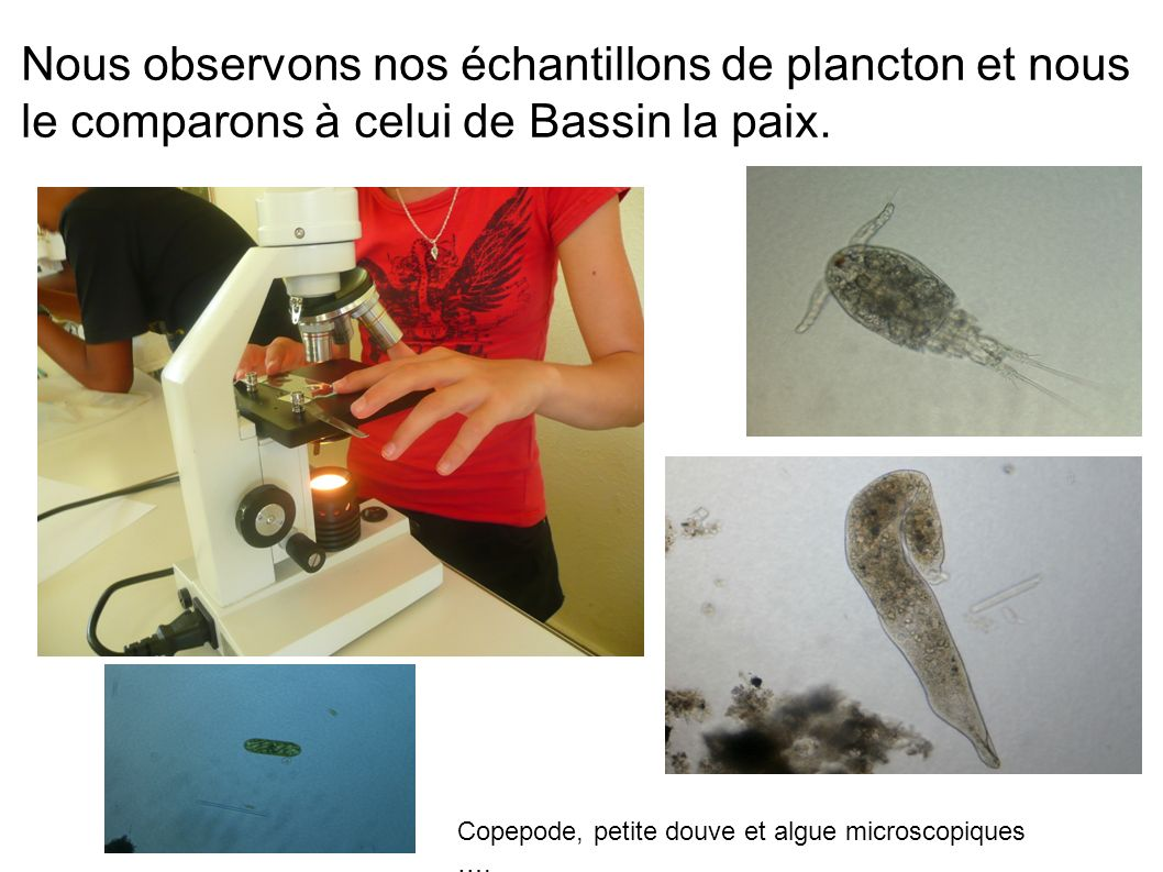 Nous observons nos échantillons de plancton et nous le comparons à celui de Bassin la paix.