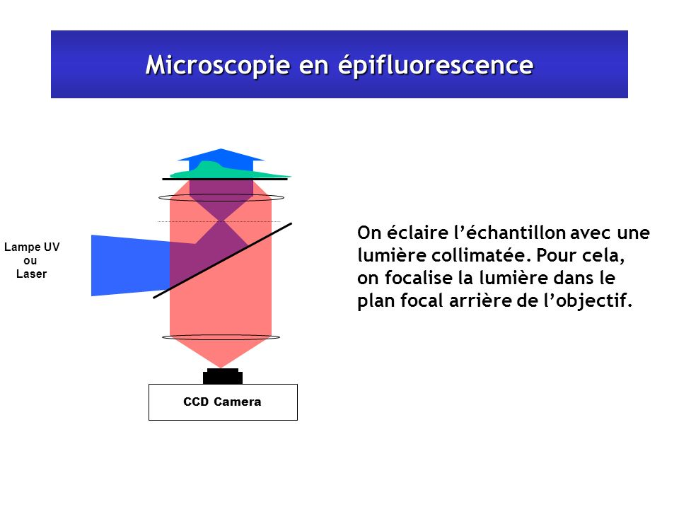 Microscopie en épifluorescence