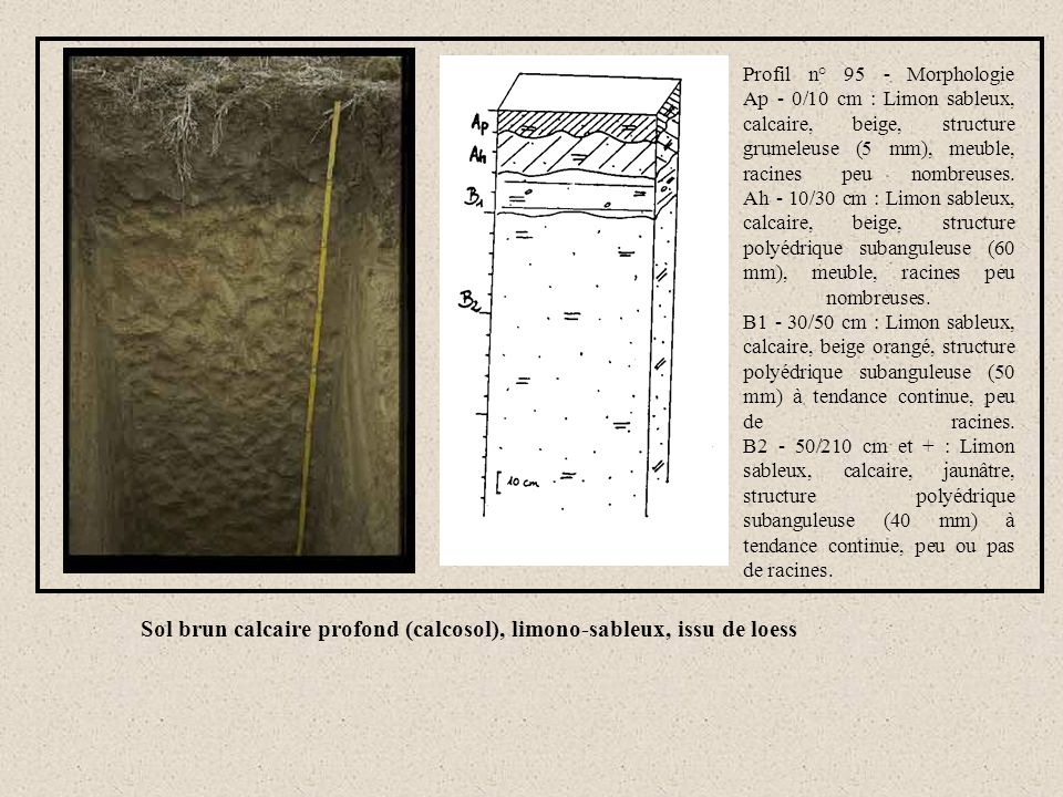 Sol brun calcaire profond (calcosol), limono-sableux, issu de loess