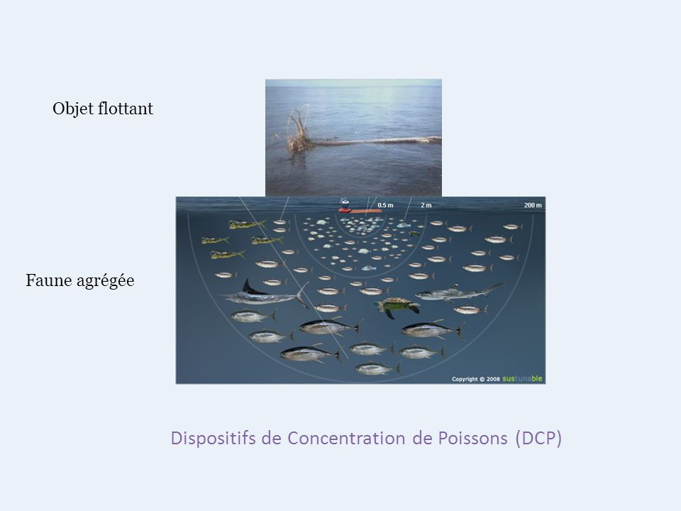 Dispositifs de Concentration de Poissons (DCP)