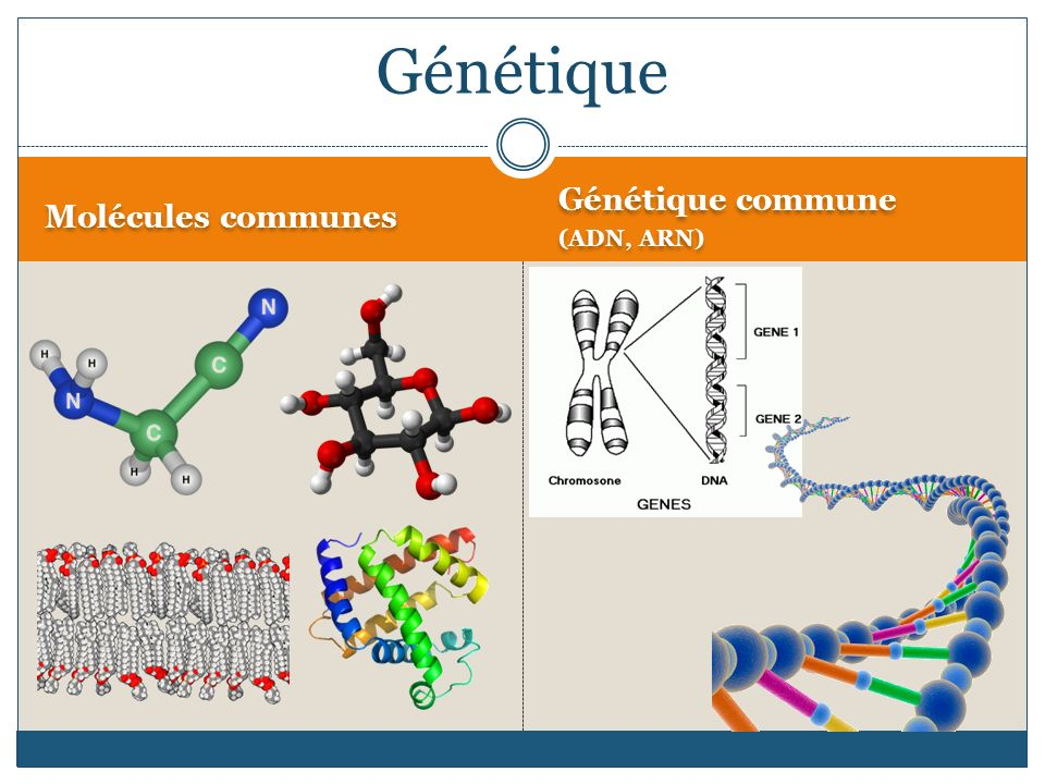 Génétique Molécules communes Génétique commune (ADN, ARN)