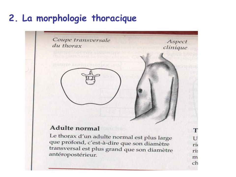 2. La morphologie thoracique