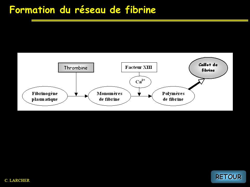 Formation du réseau de fibrine