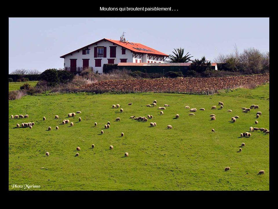 Moutons qui broutent paisiblement . . .