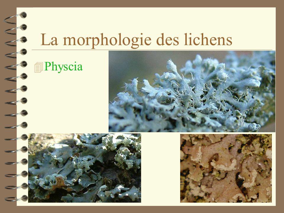 La morphologie des lichens