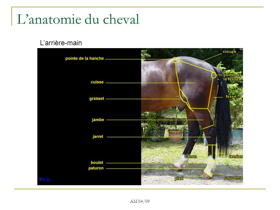 L'anatomie du cheval L'arrière-main AM 04/09