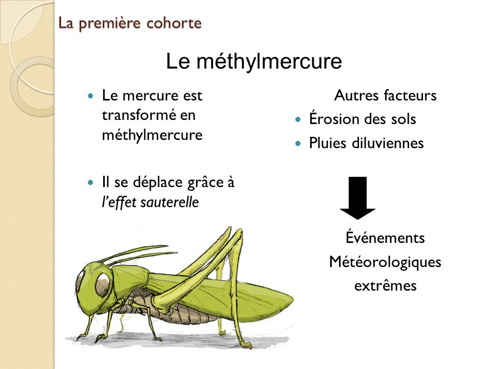 Le méthylmercure La première cohorte