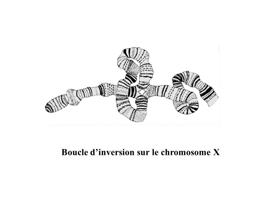 Boucle d'inversion sur le chromosome X