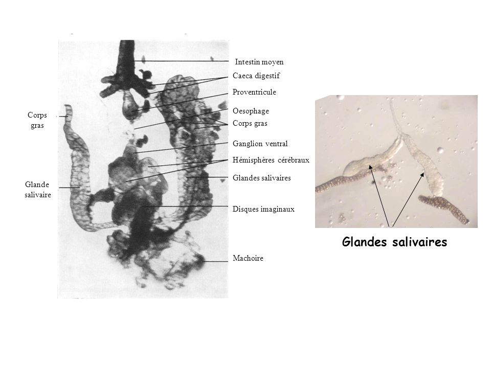 Glandes salivaires Intestin moyen Caeca digestif Proventricule