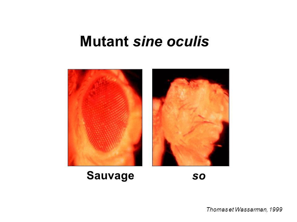 Mutant sine oculis Sauvage so Thomas et Wassarman, 1999