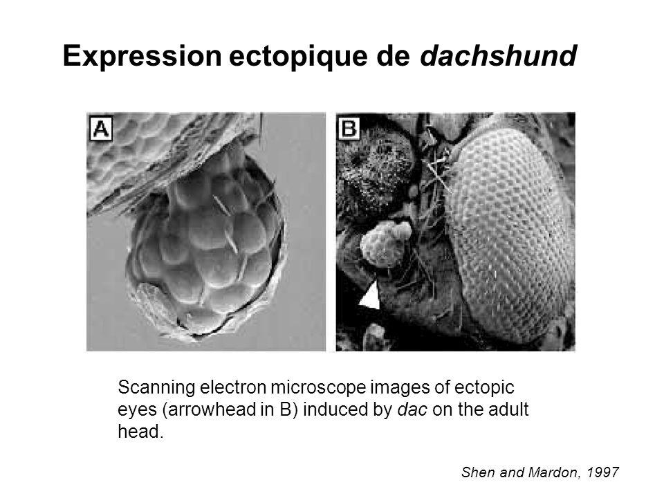 Expression ectopique de dachshund