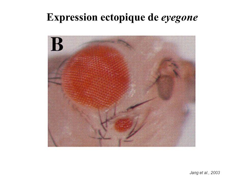 Expression ectopique de eyegone